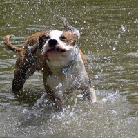 Dog cooling down in the water